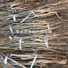 中林5号核桃树苗报价、2020年中林5号核桃树苗价格
