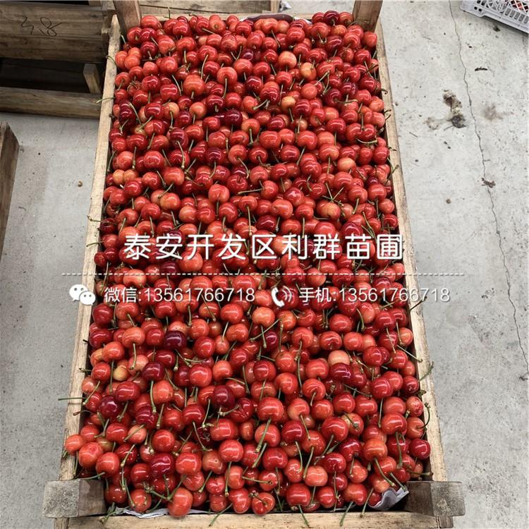 矮化乌克兰7号樱桃苗、矮化乌克兰7号樱桃苗价格及基地