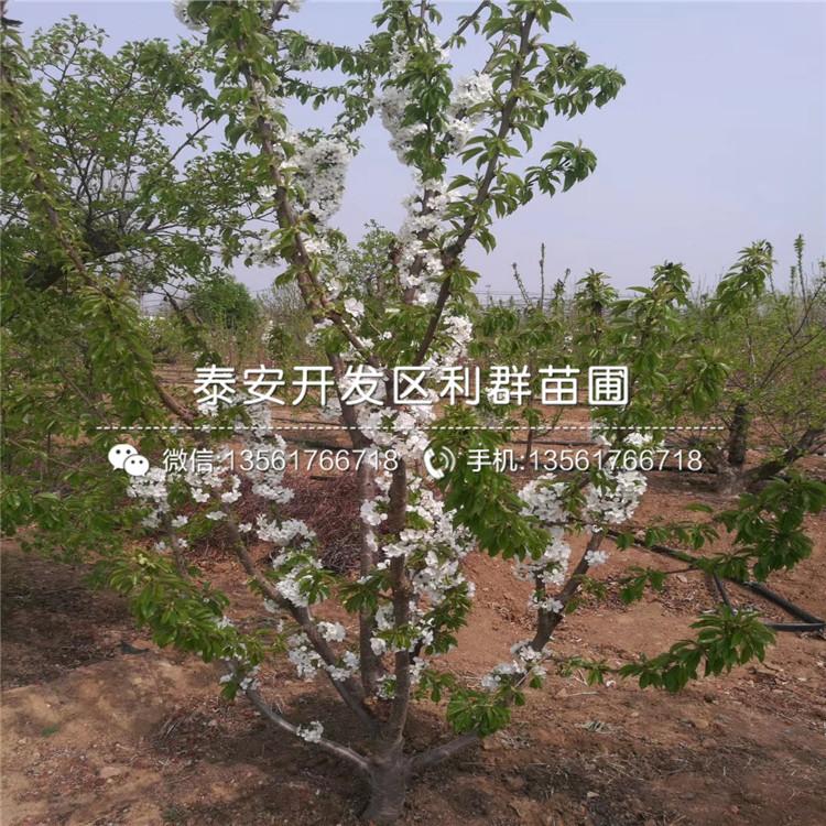 山东红玛瑙樱桃苗、山东红玛瑙樱桃苗新品种