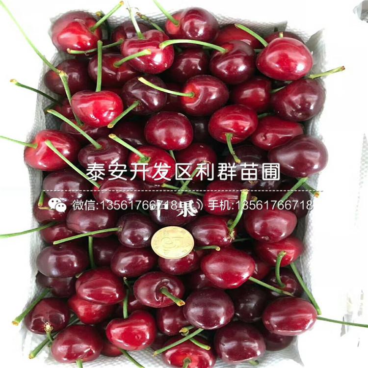 批發黑珍珠大櫻桃苗、黑珍珠大櫻桃苗價格及報價