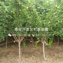 脆红李树苗价格及基地图片
