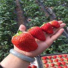 紅珍珠草莓苗、紅珍珠草莓苗基地及報價圖片