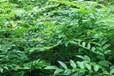 汇生林业公司认真做好种植工作