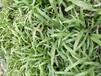 福建福州哪里可以买到草种多少钱一斤