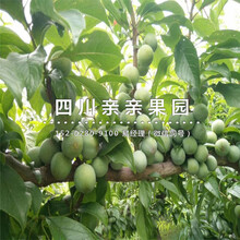 青(qing)脆李樹(shu)苗、楊(yang)家(jia)青(qing)脆李樹(shu)苗、楊(yang)家(jia)青(qing)脆李樹(shu)苗價格圖片