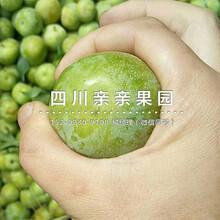青(qing)脆李苗、思茅(mao)青(qing)脆李苗、思茅(mao)青(qing)脆李苗批發圖片