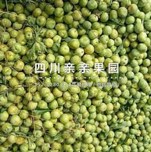 西安青脆李子树苗价格、青脆李子树苗多少钱一根图片