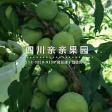 銅川青脆李子樹苗價格、青脆李子樹苗栽種條件圖片