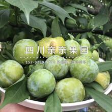 青(qing)脆李子(zi)苗、甘孜(zi)青(qing)脆李子(zi)苗、甘孜(zi)青(qing)脆李子(zi)苗基(ji)地圖片