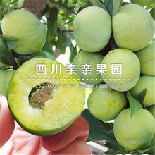 忠縣青(qing)脆李子(zi)樹(shu)苗、1-3公(gong)分青(qing)脆李子(zi)樹(shu)苗價格圖片
