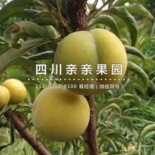 忠縣蜂糖李苗、3公(gong)分蜂糖李苗批發圖片