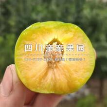 紅河(he)蜂糖李苗、1公(gong)分蜂糖李苗基(ji)地圖片