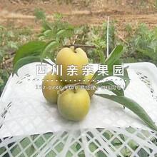 迪庆蜂糖李子苗、2年生蜂糖李子苗价格图片