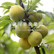 南岸蜂糖李樹(shu)苗、2公(gong)分蜂糖李樹(shu)苗價格圖片
