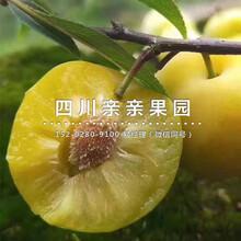 廣安蜂糖李子樹苗、2年生蜂糖李子樹苗價格圖片