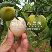 南岸蜂糖李树苗、3公分蜂糖李树苗批发图片