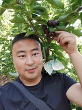 四川大櫻桃樹苗自產自銷、四川自貢大櫻桃樹苗廠家圖片