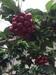 四川大樱桃树苗自产自销、四川达州大樱桃树苗苗圃