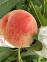 永州水蜜桃树苗价格_永州3公分水蜜桃苗图片