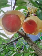 玉溪水蜜桃树苗基地_玉溪优质水蜜桃苹果树苗图片