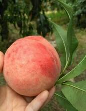 百色水蜜桃树苗价格_百色水蜜桃树苗三年苗价格图片