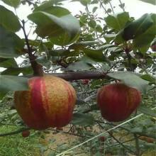 洛陽梨樹苗-洛陽梨樹苗基地-洛陽梨樹苗栽培技術圖片