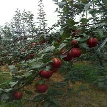 酒泉嫁接梨樹苗出售_酒泉梨子樹苗價格圖片