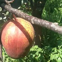 麗水梨子樹苗報價_麗水梨子苗出售圖片