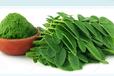 熱銷辣木葉提取物10:1多種規格1公斤起訂