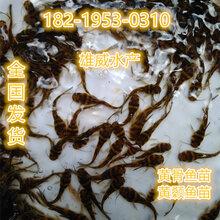 杂交黄骨鱼苗批发全雄性黄骨鱼苗出售黄骨鱼苗大量批发