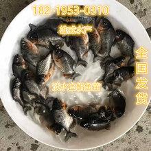 淡水白鲳鱼苗批发红鲳鱼苗价格鲳鱼苗养殖场