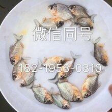 江苏淡水白鲳鱼苗南通鲳鱼苗批发红鲳鱼苗价格