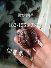 中华草龟苗批发草龟苗价格草龟苗养殖场