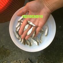 武昌鳊魚苗批發鳊魚苗價格鳊魚苗養殖場圖片