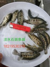 广东淡水石斑鱼苗湛江老虎斑鱼苗花斑鱼苗批发图片