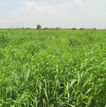 玫瑰草油东印度香叶油天然植物精油提取设备图片
