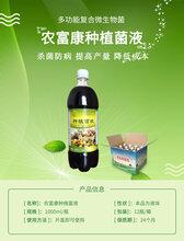 芽苗菜爛根病害使用農富康種植em菌液可以有效預防圖片