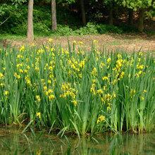 北京水生植物圖片