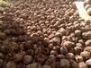 花魔芋種子