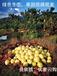 在吉林怎樣買到真正梅州柚子,現在柚子價格行情怎樣