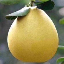 原产地金柚子货源渠道批发采购梅县沙田柚子销售代理价格