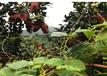 梅州原產地金柚價格批發價行情沙田柚的功效與作用禁忌