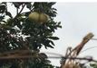 梅州梅縣三紅柚團購禮盒聯系方式