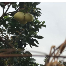 梅州甜柚价格批发多少钱种植基地直发柚子价格