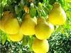 優質的梅州沙田柚購買渠道,梅州果農批發