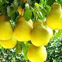 今年柚子最新批發行情,果農直銷行情圖片