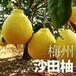 廣東梅州沙田柚團購價格