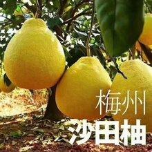 南京人咨询梅州金柚沙田柚批发水果店超市进货价格梅县柚子产地货源
