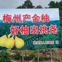 公司想采购有礼盒装的梅州金柚哪里有渠道
