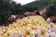 廣州柚子批發市場價格行情_廣州柚子批發_蜜柚批發